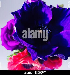 Close-up di viola e rosa fiori di anemone Foto Stock