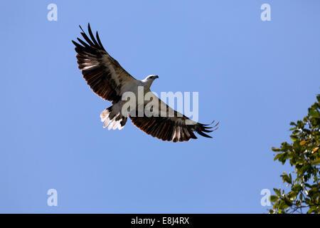 Bianco-gonfiato aquila del mare (Haliaeetus leucogaster) in volo, il Parco Nazionale di Komodo, Sito Patrimonio Mondiale dell'Unesco, Isola di Komodo