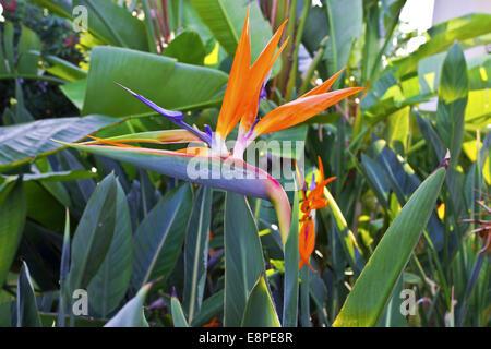 Strelizia uccello del paradiso fiore in un giardino. Foto Stock