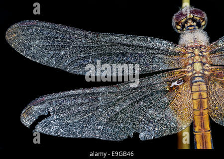 Dragonfly rugiada, Singapore Foto Stock