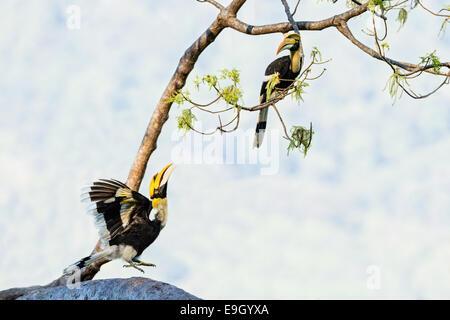 Una visualizzazione grande hornbill (Buceros simum) osservato da un altro nella foresta pluviale tropicale cielino Foto Stock