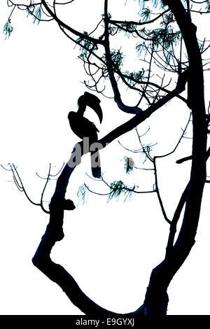 Silhouette di grande hornbill (Buceros simum) nella foresta pluviale tropicale cielino Foto Stock