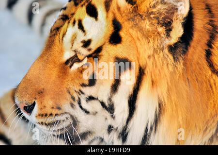 Maschio o di Amur tigre siberiana, Panthera tigris altaica,godendo del tramonto Foto Stock