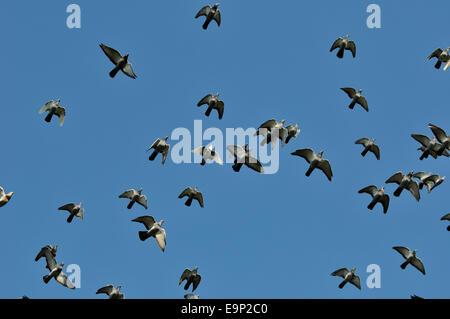 Stormo di piccioni volare contro il cielo blu Foto Stock