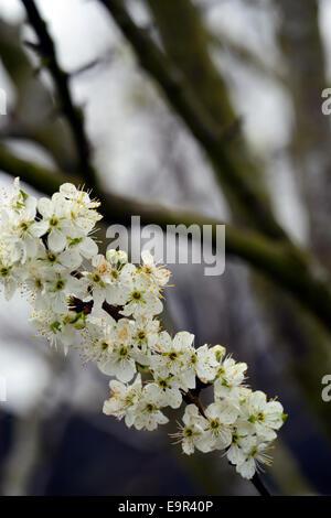 Prunus domestica Oullins Gage golden blossom damson prugna fiore primavera fiori bianchi blumi di alberi da frutta Foto Stock