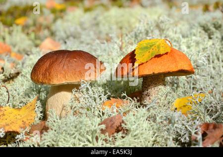 Due i funghi commestibili Foto Stock
