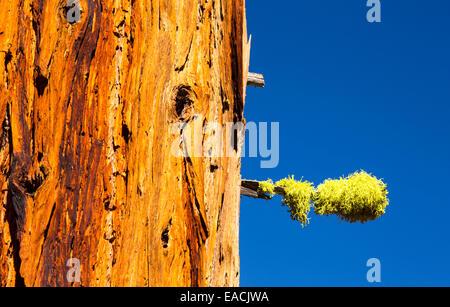 Un albero morto al di sopra del Nevada Fall nella piccola valle di Yosemite, Yosemite National Park, California, Stati Uniti d'America con Letharia o Wolf lichen.