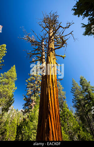 Un albero morto al di sopra del Nevada Fall nella piccola valle di Yosemite, Yosemite National Park, California, Stati Uniti d'America.