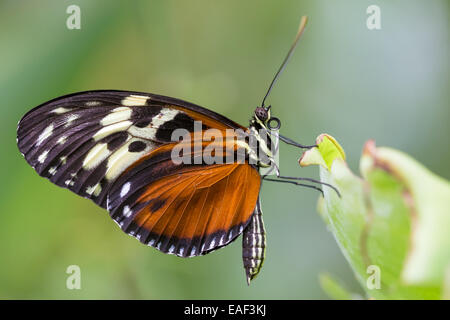 Un Isabella Tiger butterfly (Euedes isabella) poggia sulla lamina a Butterfly Farm a Stratford-upon-Avon Foto Stock
