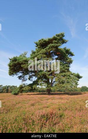 Di Pino silvestre (Pinus sylvestris) in fioritura brughiera, Münsterland, Renania settentrionale-Vestfalia, Germania Foto Stock