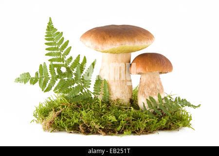 Due funghi porcini freschi in un verde muschio isolato su bianco Foto Stock