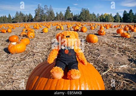 Un orsacchiotto di peluche vestito in un costume di halloween su una zucca in un orto di zucche Foto Stock