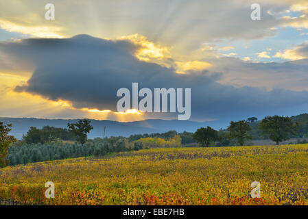 Campagna con vigneto in autunno, Montalcino, provincia di Siena, Toscana, Italia