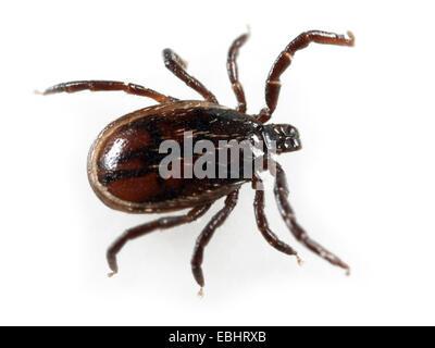 Castor bean tick (Ixodes ricinus) su uno sfondo bianco Foto Stock