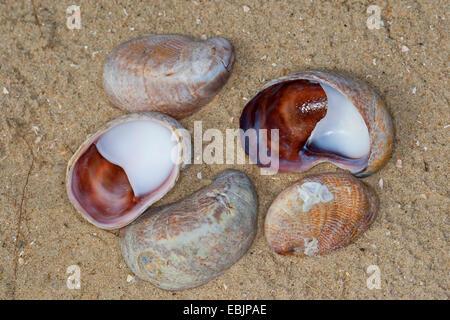 American slipper limpet, comune slippersnail atlantico (Crepidula fornicata), lumaca conchiglie sulla spiaggia, Germania