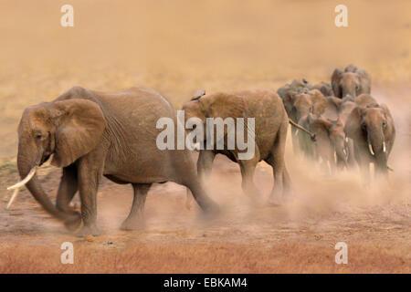 Elefante africano (Loxodonta africana), gruppo camminando rapidamente attraverso la steppa e soffiare polvere, Kenya, Foto Stock
