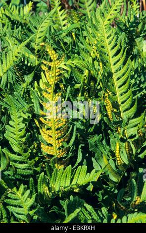 Comune (polypody Polypodium vulgare), foglie di felce con sori sul lato inferiore, Germania Foto Stock
