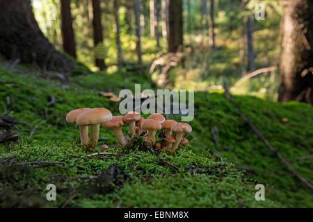 Il miele scuro fungo, miele (fungo Armillaria ostoyae, Armillariella polymyces, Armillaria solidipes), di corpi Foto Stock