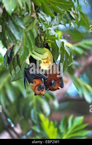 Seychelles flying fox, frutto delle seychelles bat (Pteropus seychellensis), due volpi volanti appesi a testa prima Foto Stock
