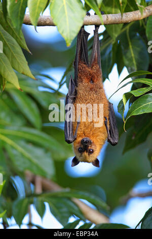 Seychelles flying fox, frutto delle seychelles bat (Pteropus seychellensis), appeso a un albero, Seychelles, Mahe Foto Stock