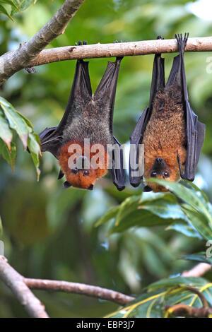 Seychelles flying fox, frutto delle seychelles bat (Pteropus seychellensis), coppia appeso a un albero, Seychelles, Foto Stock