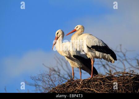 Cicogna bianca (Ciconia ciconia), due cicogne bianche al nido, Germania Foto Stock