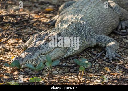 Wild coccodrillo di acqua salata sulle rive del fiume Hunter, Mitchell River National Park, Kimberley, Australia Foto Stock