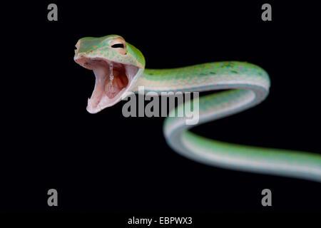 Attaccare il serpente / Ahaetulla nasuta
