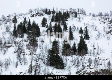 Elk, alci europea (Alces alces alces), l'inverno in fjell, Norvegia, Nordland, Raftsund Foto Stock