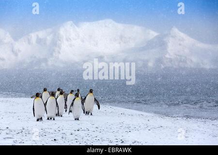 Pinguino reale (Aptenodytes patagonicus), gruppo in forte nevicata, Antartide, Suedgeorgien, St Andrews Bay Foto Stock
