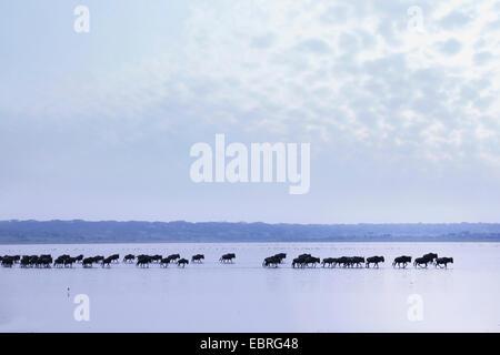 Blue GNU, borchiati gnu, bianco-barbuto GNU (Connochaetes taurinus), allevamento di wildebeests attraversando il Foto Stock