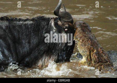 Coccodrillo del Nilo (Crocodylus niloticus), cocodile attaccando GNU, eyeball al bulbo oculare con ogni altro fiume Foto Stock