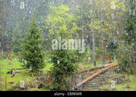 Tempesta di neve in una foresta, in Germania, in Baviera, il Parco Nazionale della Foresta Bavarese Foto Stock