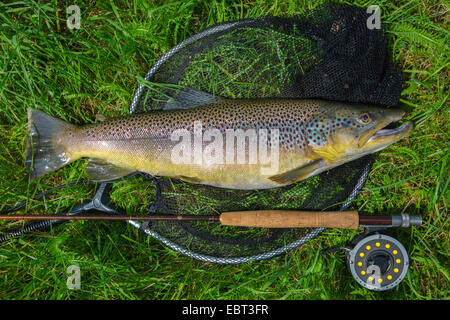 La trota fario trota di fiume, trota di fiume (Salmo trutta fario), catturato dalla pesca a mosca, in Germania, Foto Stock