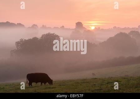 Rosso rubino il pascolo di bestiame nel Devon campagna all'alba in una nebbiosa mattina, cane nero, Devon, Inghilterra. Foto Stock
