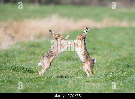 """Brown lepre (Lepus europaeus), adulto maschio e femmina """" boxe' durante la primavera accoppiamento stagione. East Foto Stock"""