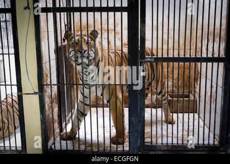 Una tigre del Bengala in cattività. Foto Stock