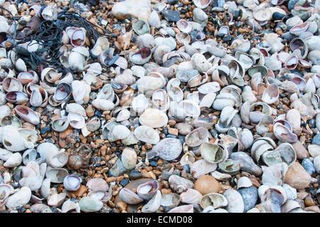 Lavato fino conchiglie sulla spiaggia occidentale, Littlehampton. La maggior parte sono delle Pianelle Limpet, una specie americane