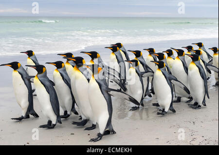 Re pinguini (Aptenodytes patagonicus), Volunteer Point, Est Isole Falkland, Isole Falkland Foto Stock