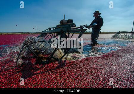 """Acqua di bobine o """"uovo fruste' rimuovere i mirtilli rossi dai loro vigneti e per consentire la raccolta di acqua Foto Stock"""