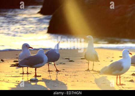 """Il prescelto. Un mare uccello è illuminato da un casuale abbagliamento da il sole del mattino, facendolo apparire come se fosse un """"santo"""" luce splende u"""