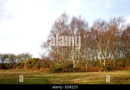 Un piccolo bosco ceduo di argento di betulle in inverno sul Kelling Heath, Norfolk, Inghilterra, Regno Unito. Foto Stock