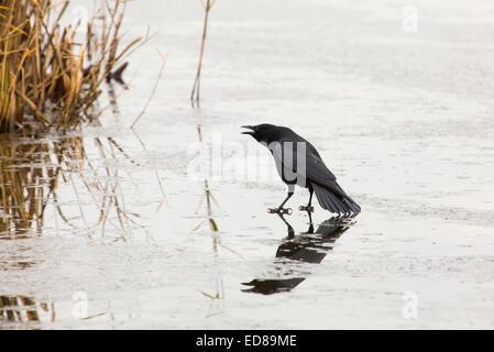Un corvo camminando su un lago ghiacciato a Leighton Moss, Lancashire, Regno Unito. Foto Stock