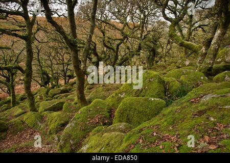 Autunno in Wistman il legno NNR, Dartmoor. Antica nodose Comune di muschio bosco di querce a circa 400m. Devon. Foto Stock