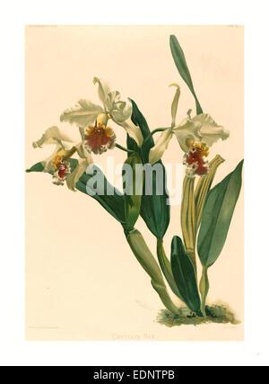 Gustav Leutzsch dopo Henry George Luna (tedesco (?), attivo del XIX secolo ), Cattleya Rex, litografia Foto Stock