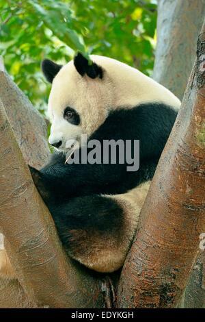 Panda gigante (Ailuropoda melanoleuca) appollaiato su un albero, captive, Chengdu Research Base del Panda Gigante Foto Stock
