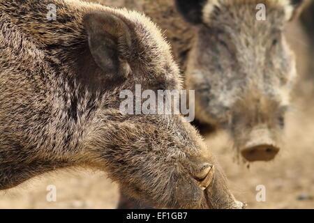 Close up di grandi cinghiale maschio con grandi zanne ( Sus scrofa ) Foto Stock