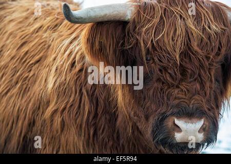Highland mucca in inverno in Scozia Foto Stock