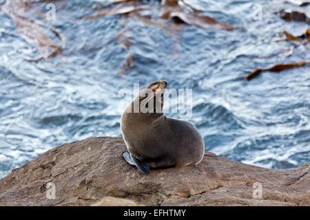 Pelliccia sigillo su una roccia, Kaikoura, Canterbury, Isola del Sud, Nuova Zelanda Foto Stock
