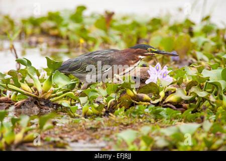 Green Heron, sci nome; Butorides virescens, Refugio de vida Silvestre Cienaga las Macanas, Herrera provincia, Repubblica Foto Stock